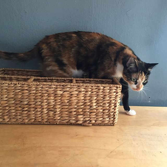 Our little Luna loves to go into small places. #cat #catsofinstagram #cutecat #cutealert #cutepics #kitties #cutiepie #basket #wickerbasket #wicker #funny #silly #baby #calico #calicocat #luna #domesticshorthair #adoptdontshop #nofilter
